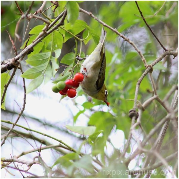 Silvereye and berries
