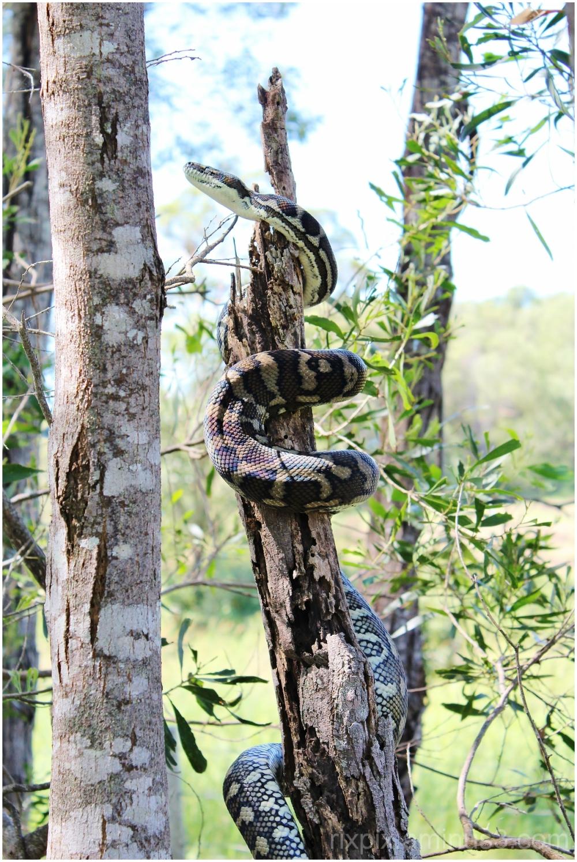 carpet snake climbing tree