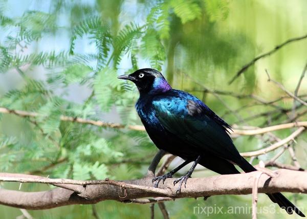 Rueppell's Glossy-starling
