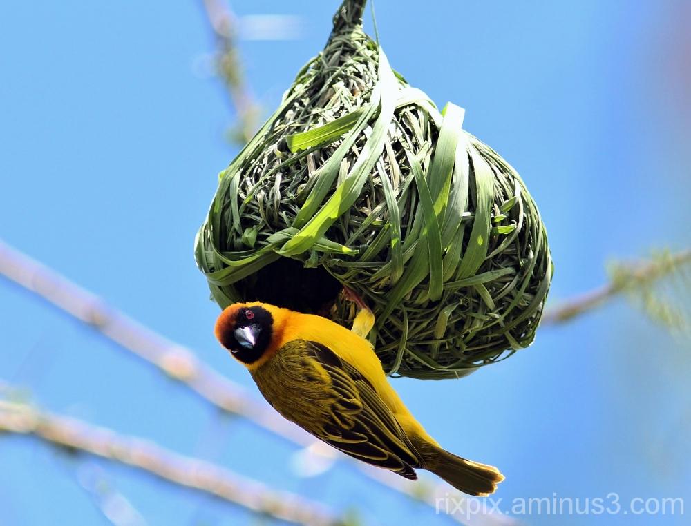 Black-headed weaver and nest