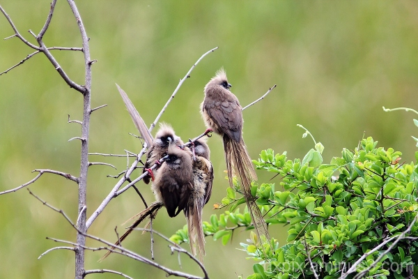 Cluster of Mousebirds