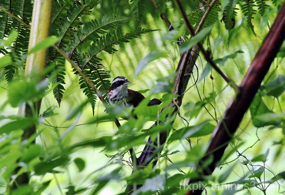 Taiwan Scimitar Babbler