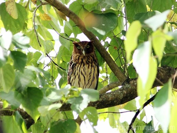 Philippine Eagle-owl