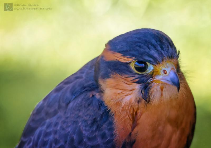 Juvenile Falcon