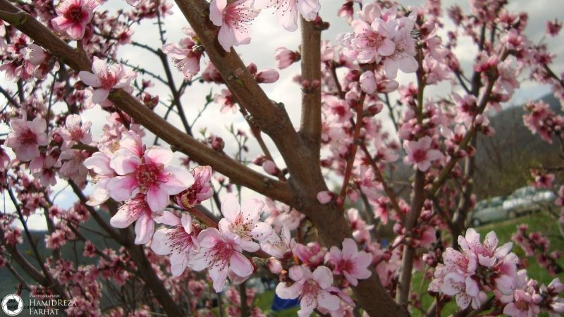 image of beautiful peach blossom