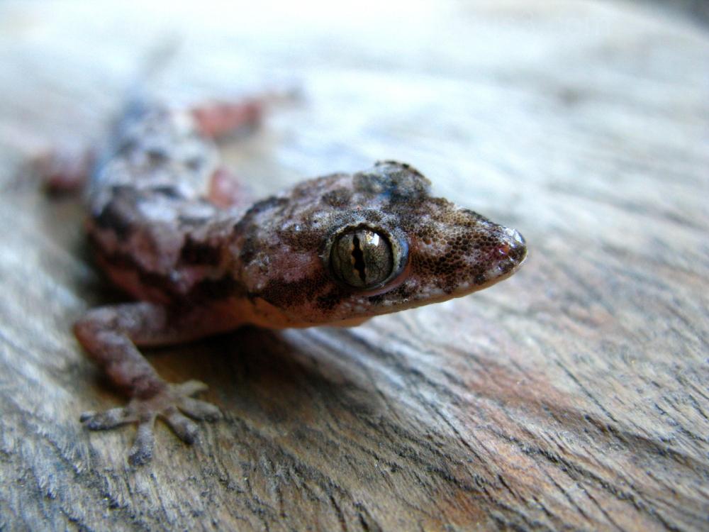 Tuqueque  ( Thecadactylus )