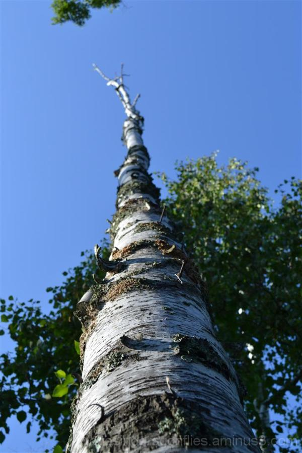 perspective of a poplar tree