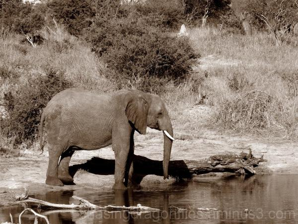 sepia elephant at watering hole
