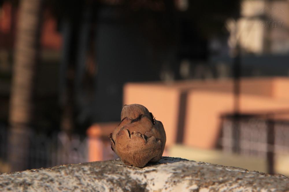 Mini Coconut