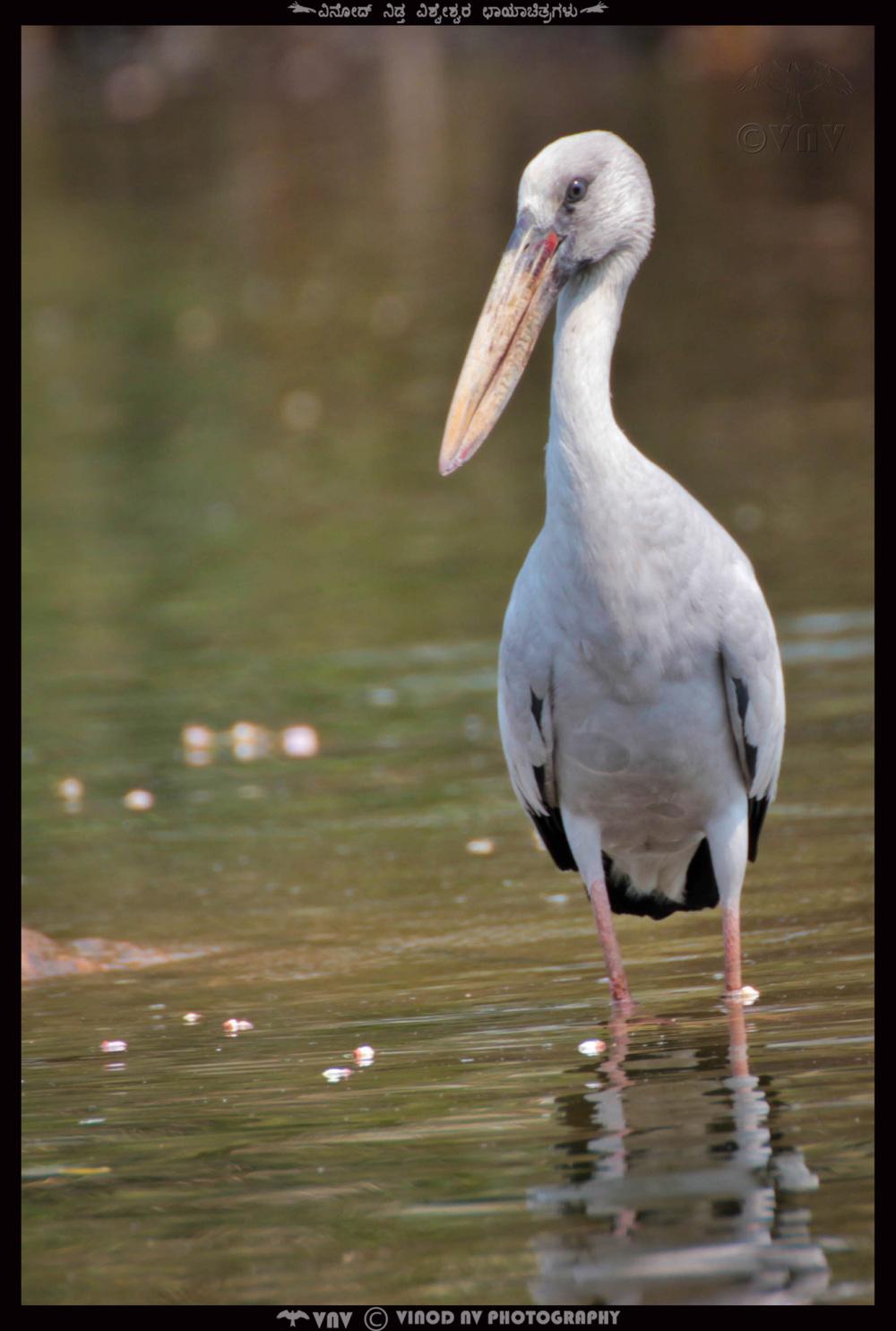 Asian Open Billed Stork