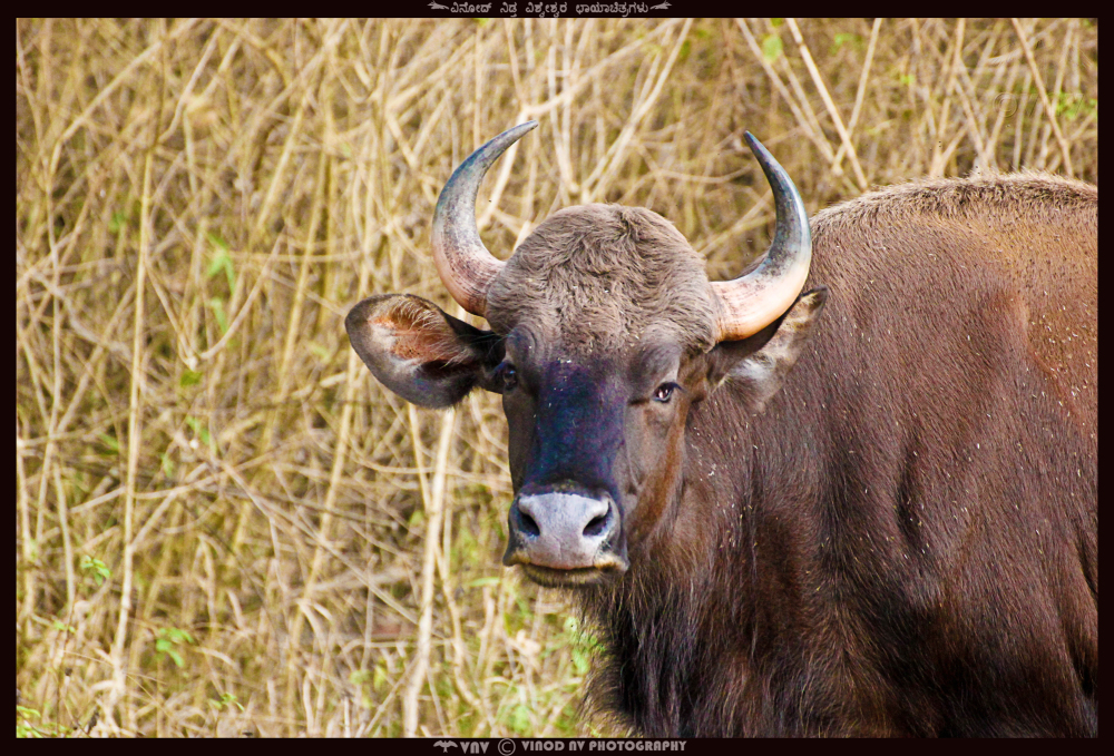 The Bison - Majestic but yet, Humble