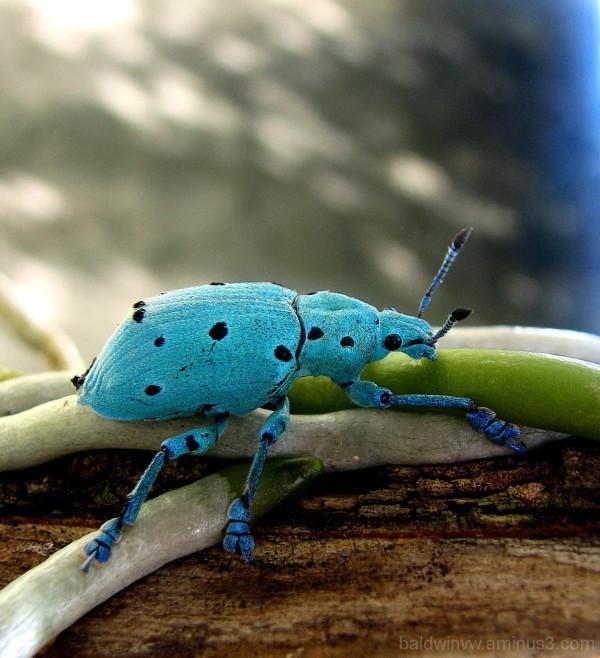 Blue bug ....