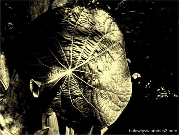 Whistling leaf ...