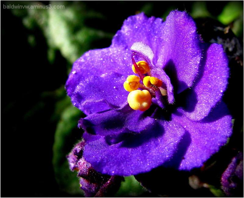 Violet delicacy ...