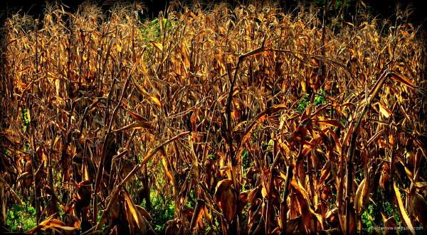 Corn field ...