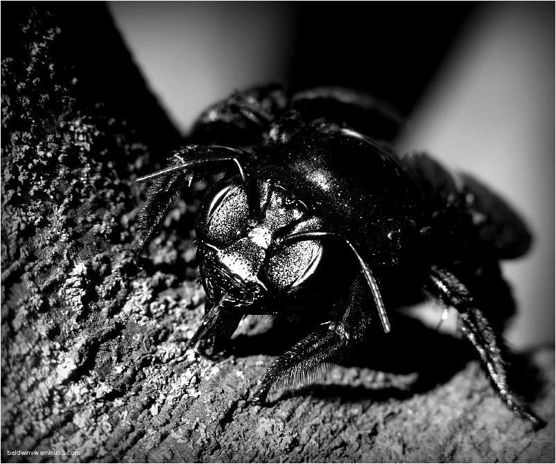 The black beast ...