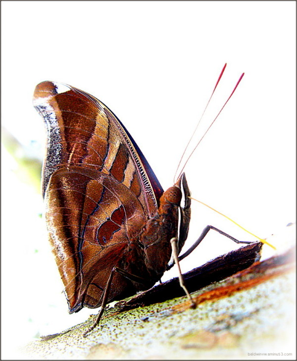 Leafwing ...