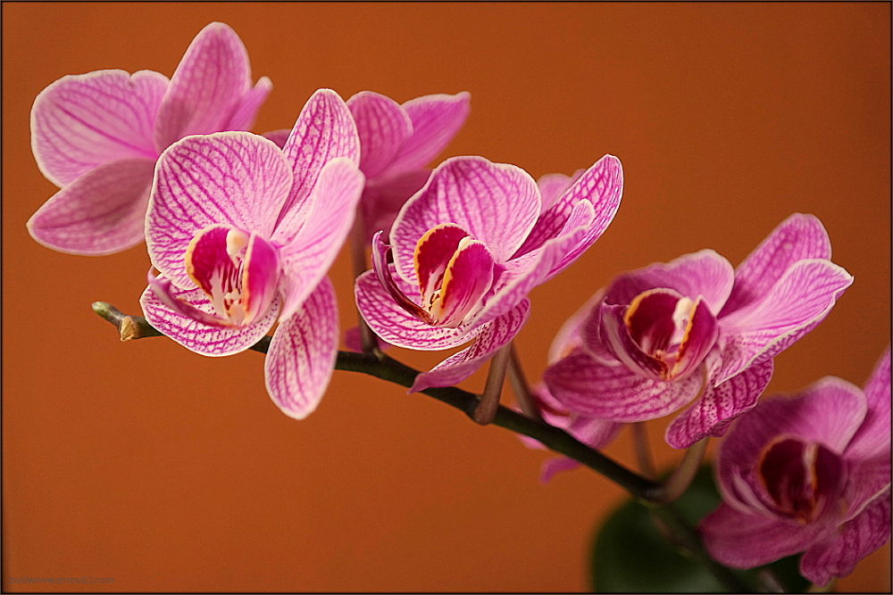 Moth Orchid 2 ...