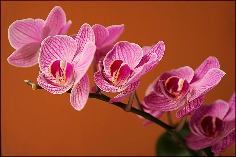 Moth Orchid 2 ...