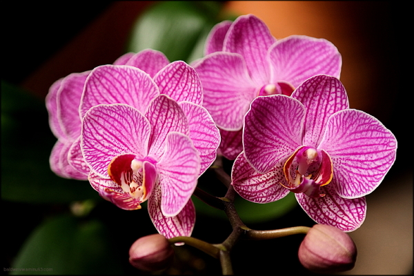 Moth Orchid ...