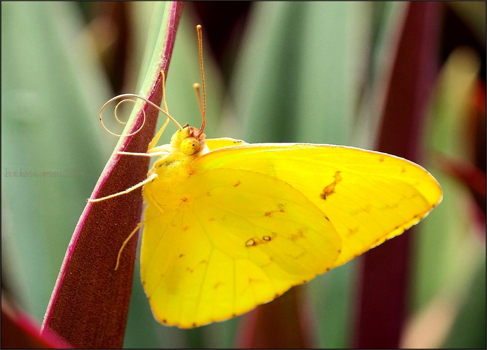 Golden wings ...