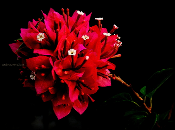 A red bunch ...
