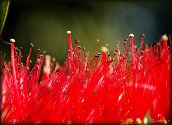 Bottlebrush ...