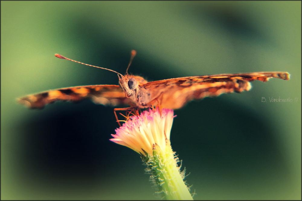 Outspread wings ...