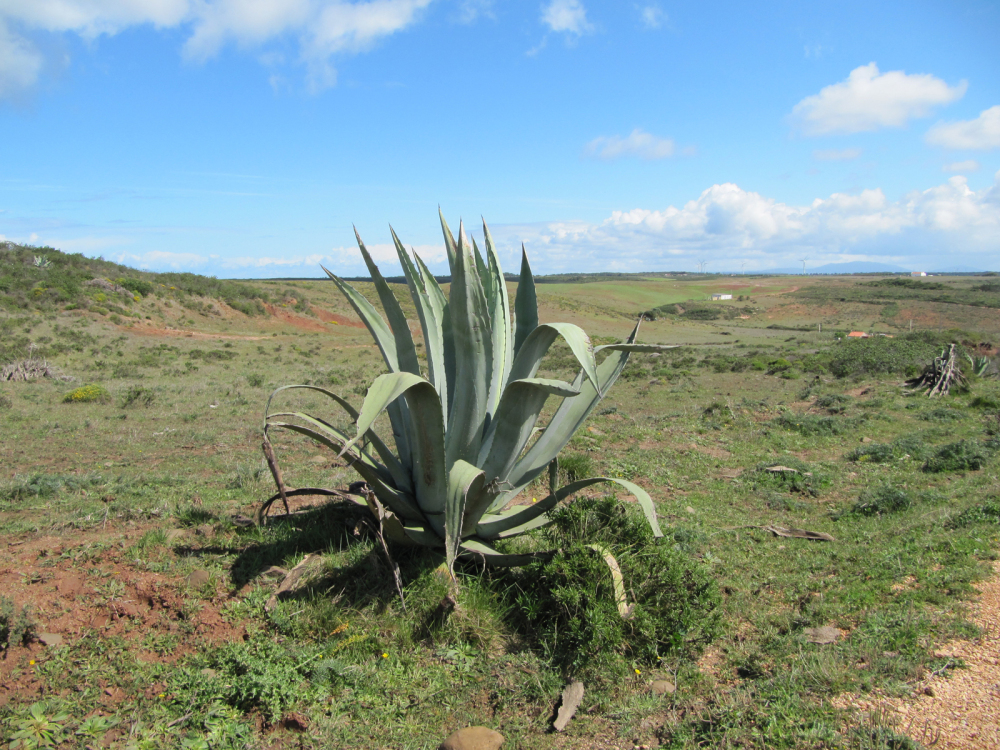 Agave in Algarve