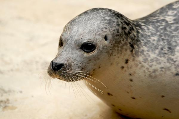 Seehund, Phoca vitulina, harbor seal,