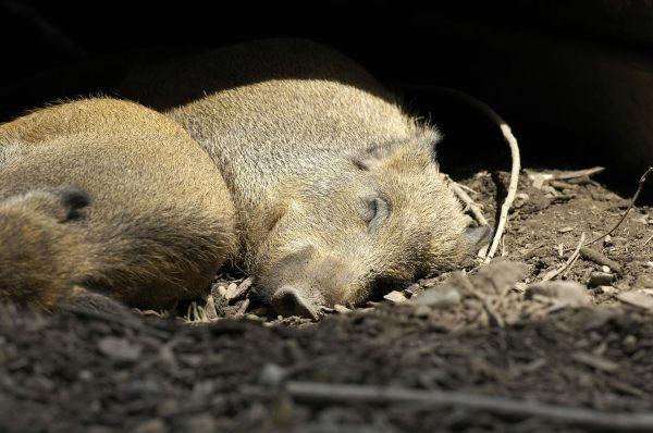 Wildschweine am schlafen