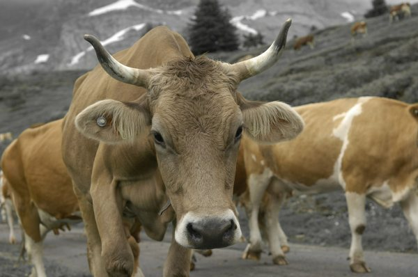 Kuh beim Alpabzug