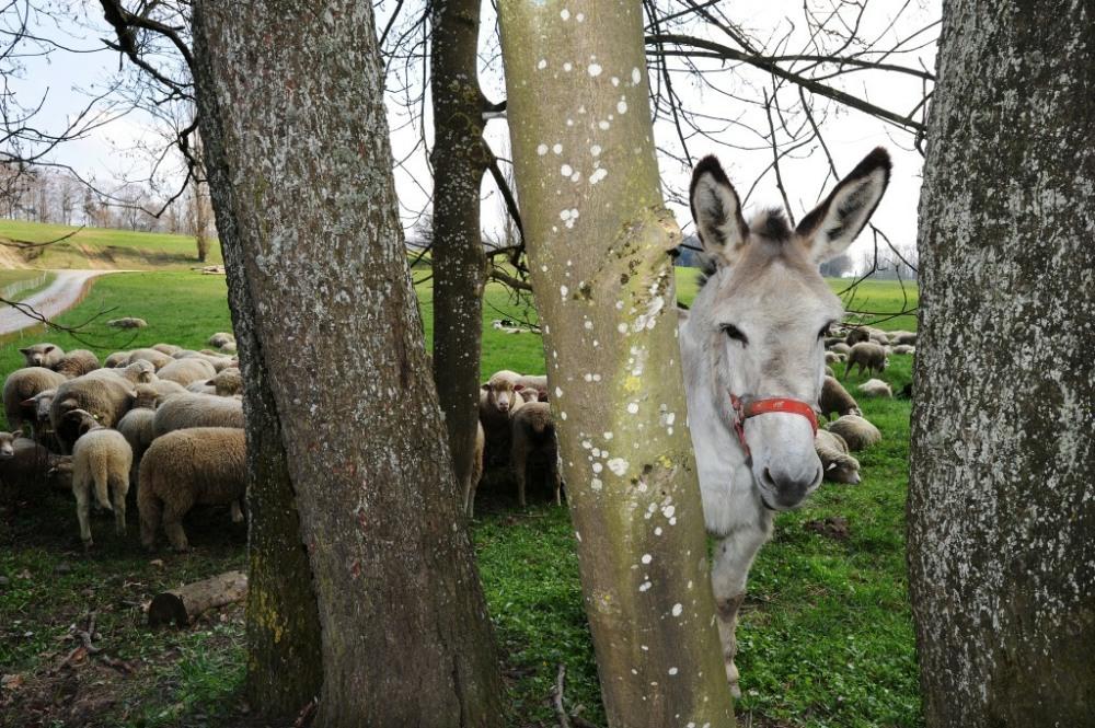 Esel bewacht die Schafherde