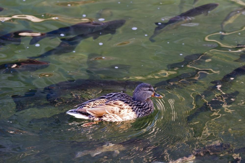 Ente schwimmt mit den Fischen