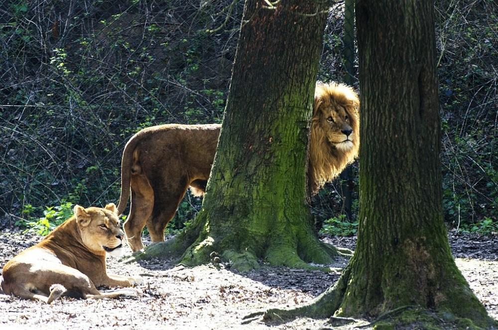 Löwen in Burgers Zoo