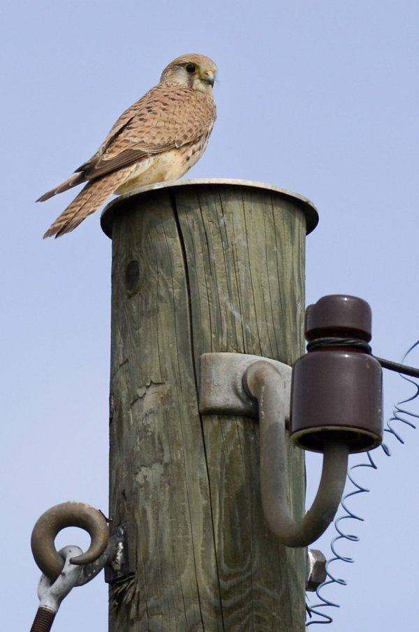 Falke auf dem Telefonmast
