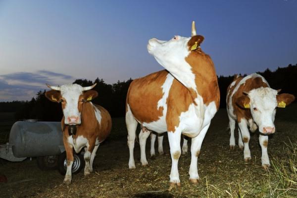 Kühe sind bereit für den Alpaufzug