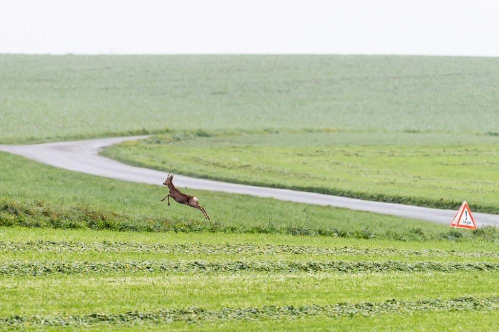 Rehbock rennt aus dem Jagdgebiet