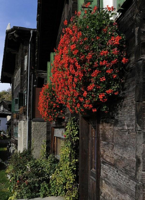 Geranien in voller Blüte an einem Walliserhaus