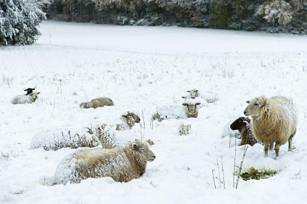 Schafe auf der Wiese im Schnee