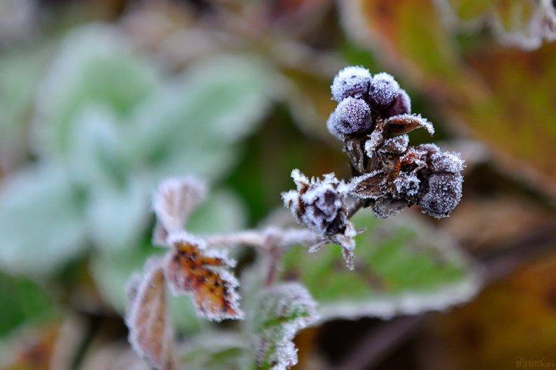 Frosty blackberry