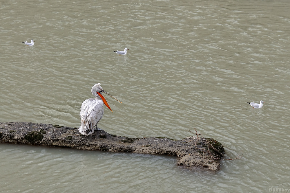 The pelican and the river