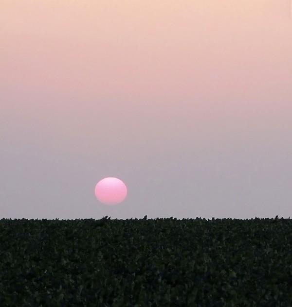 Soleil rose