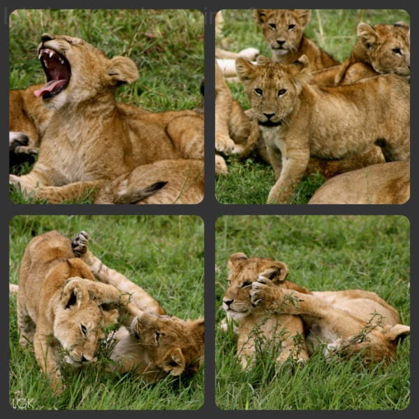 Lion Cubs-Kenya 6