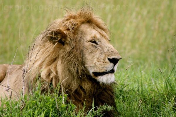 Lion-Kenya 7