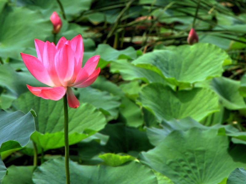 Lotus in Beijing, China