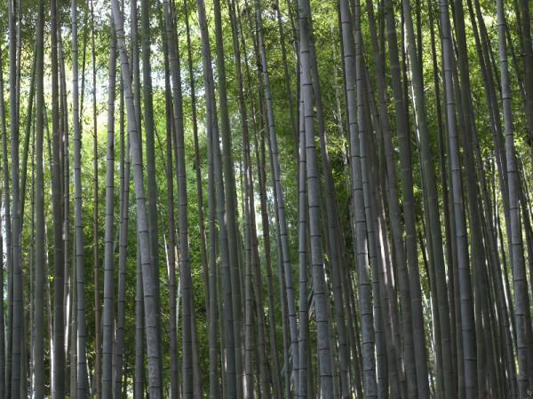 Arashiyama Bamboo Forest, Kyoto, Japan