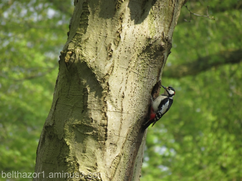 The spotted woodpecker