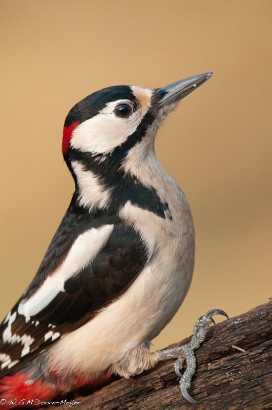 Grote Bonte Specht 1 Great Spotted Woodpecker