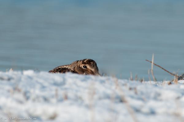 Houtsnip Woodcock